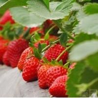 【中牟县】岗丰草莓采摘园